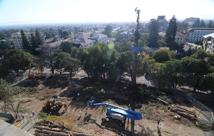 Photo: Most of the trees slated for removal from the oak grove near Memorial Stadium were removed by mid-day Saturday. Four tree-sitters remain in one redwood tree.
