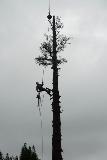 Photo: Workers hired by UC removed the final four tree-sitters from a lone redwood tree near Memorial Stadium on Sept. 9, 2008, ending the longest urban tree-sit in history. One year after the conclusion of the protest, the campus and city still feel its effects.