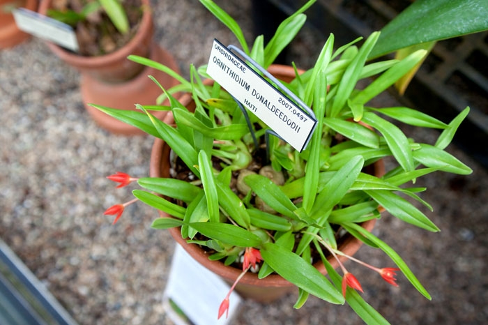 Photo: Ornithidium donaldeedodii, a newly discovered type of orchid, is on display at the UC Botanical Garden in Berkeley. This species was originally found in the mountains of Haiti, where logging threatens forest wildlife.