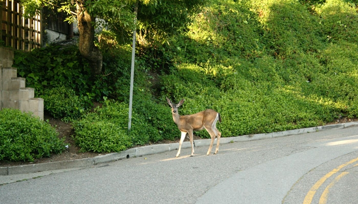 Photo: Urban deer, such as the one above, have attacked dogs and humans in the Berkeley area in three separate incidents this past year.