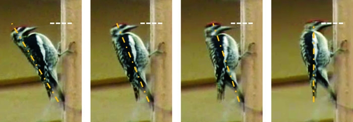 Photo: Woodpeckers were studied by researchers.